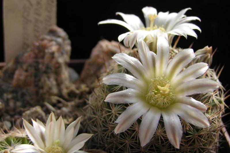 Cactus under carbonate. 20. Fm_coa11