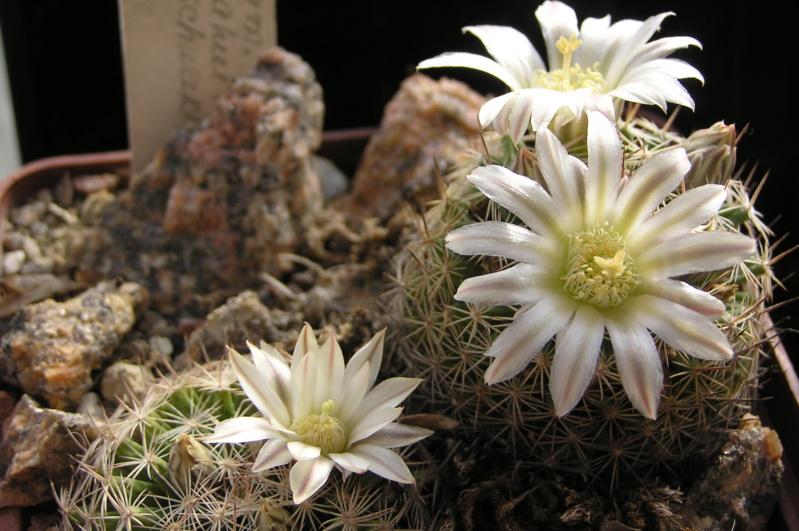 Cactus under carbonate. 20. Fm_coa12