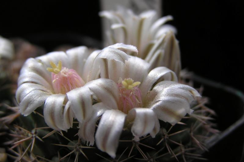 Cactus under carbonate. 20. Fm_ros10