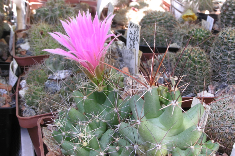 Cactus under carbonate. 17. Started! Lepido11