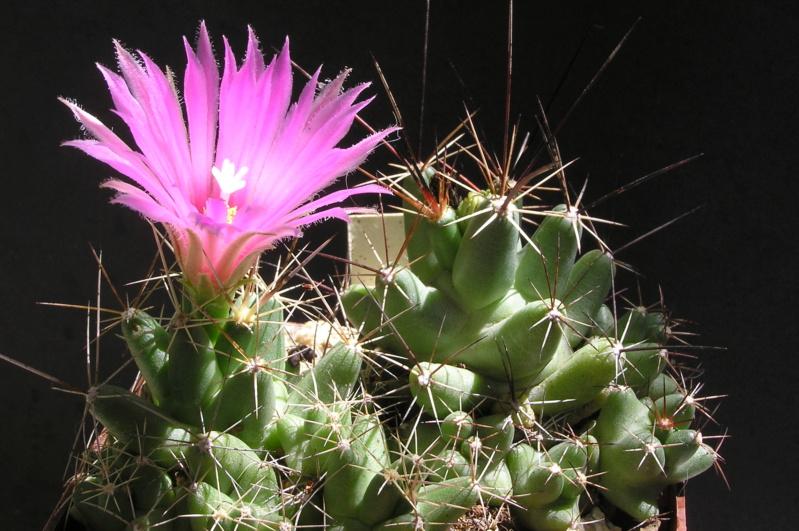 Cactus under carbonate. 17. Started! Lepido12