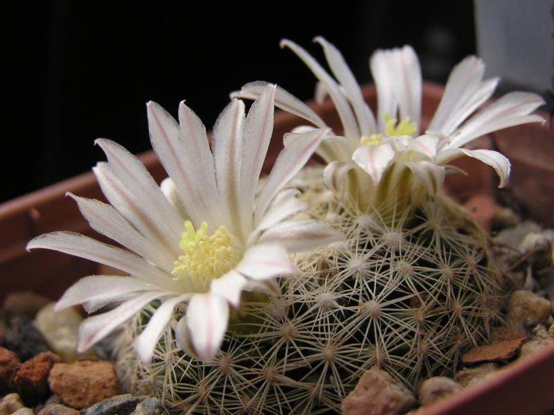 Cactus under carbonate. 18. M_albi12