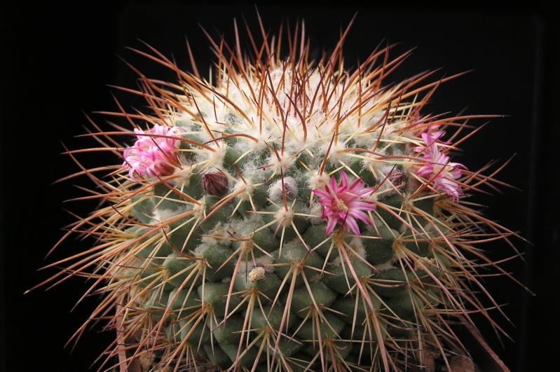 Cactus under carbonate. 18. M_apoz10