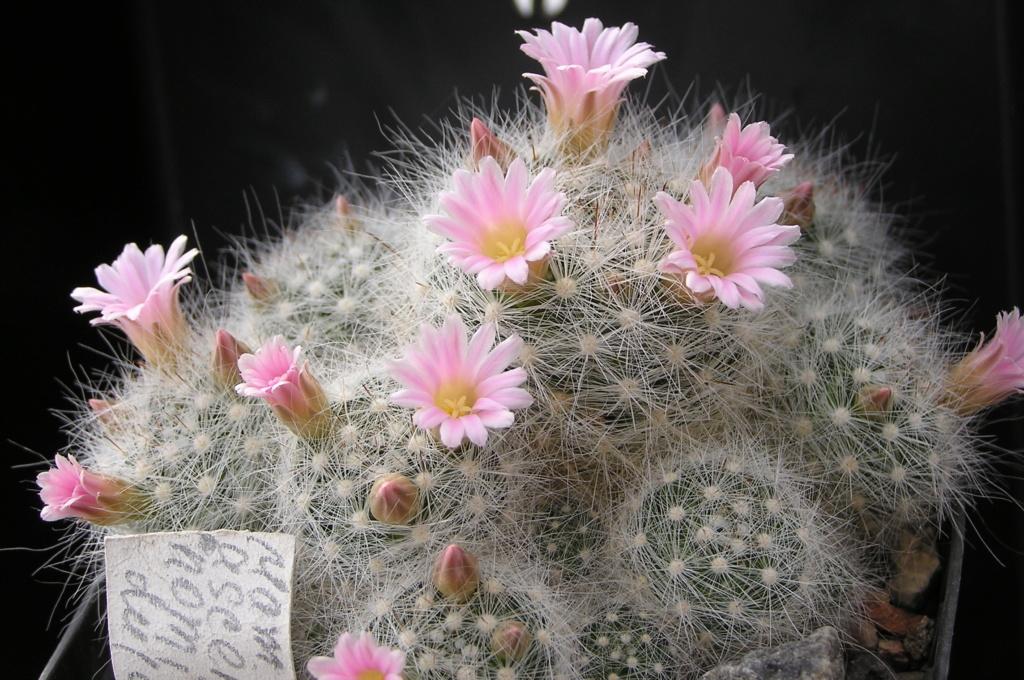 Cactus under carbonate. 18. M_asce10
