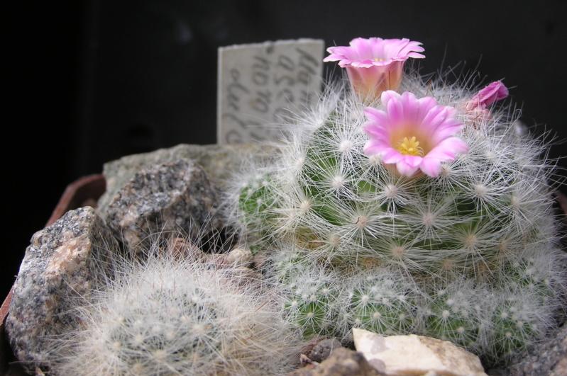 Cactus under carbonate. 18. M_asce11