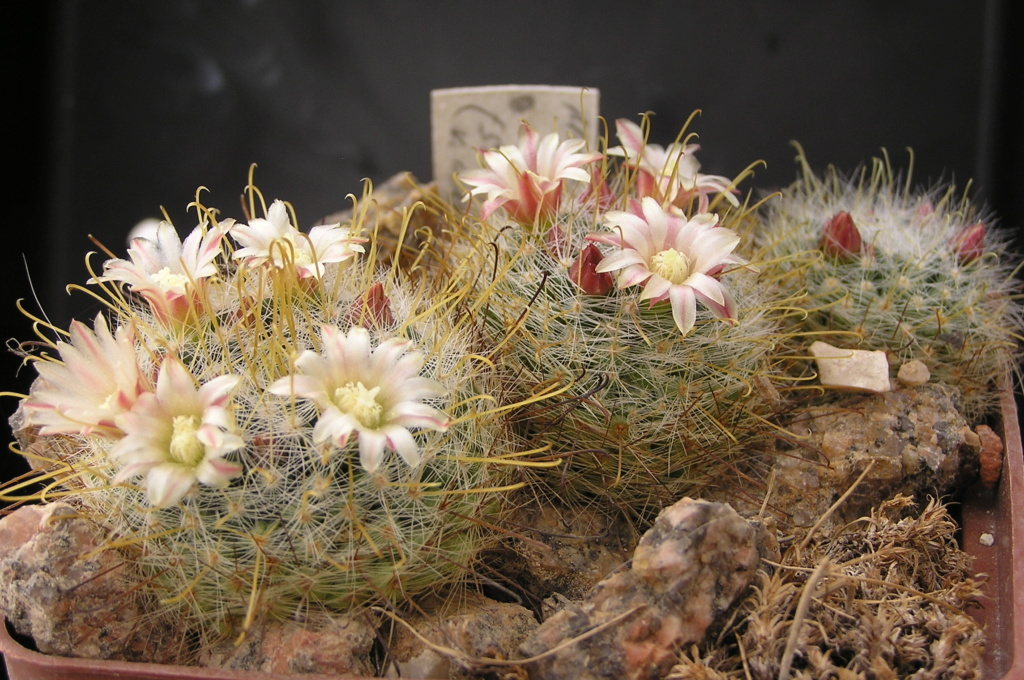 Cactus under carbonate. 18. M_auri10