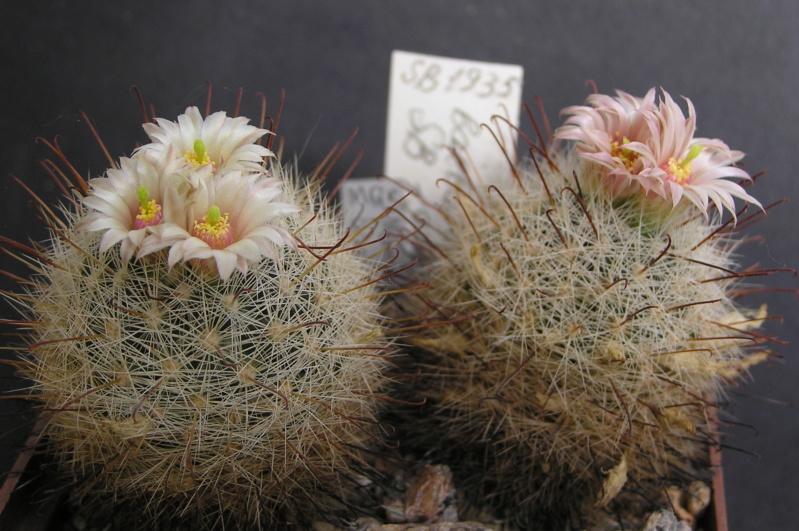 Cactus under carbonate. 17. Started! M_barb10