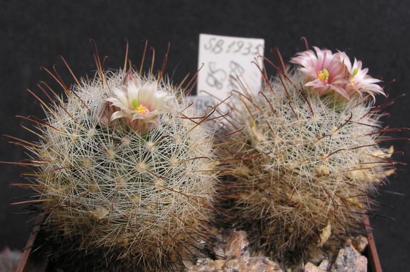Cactus under carbonate. 17. Started! M_barb11