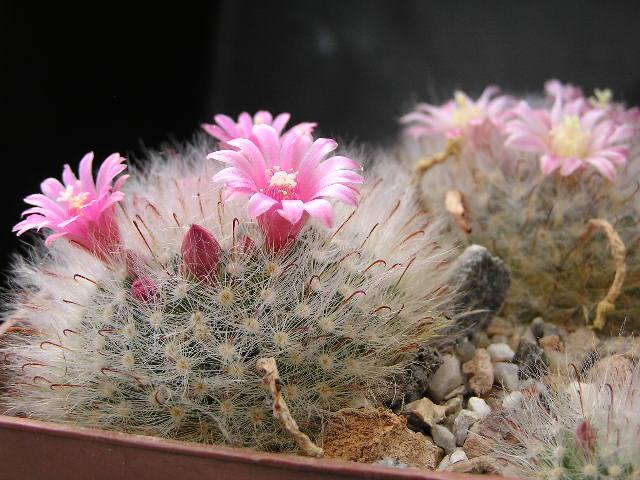Cactus under carbonate. 18. M_boca14
