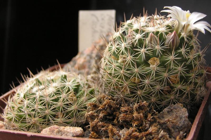Cactus under carbonate. 18. M_coah10