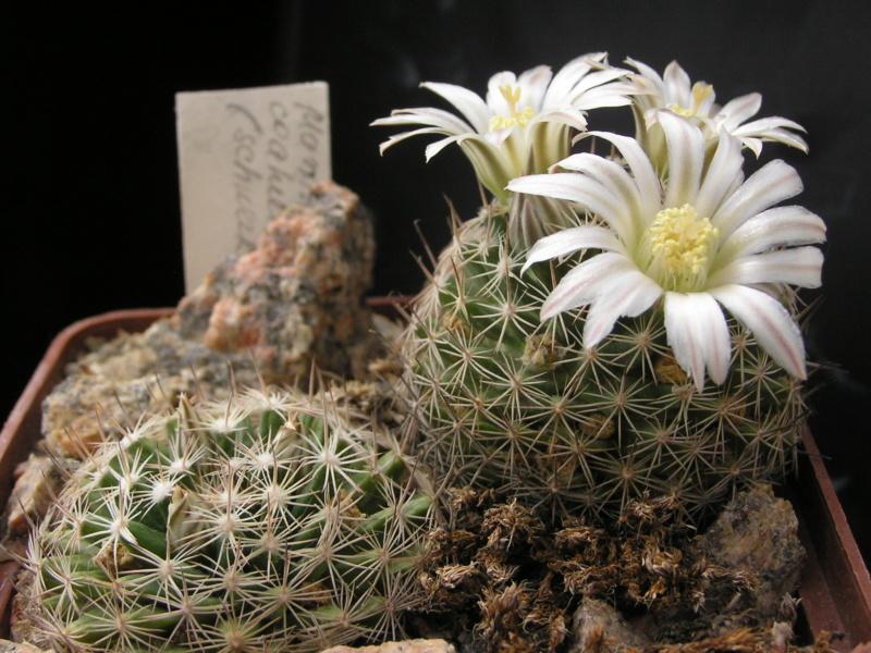 Cactus under carbonate. 18. M_coah11