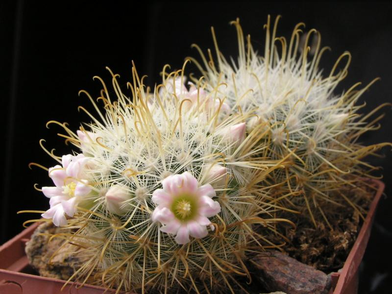 Cactus under carbonate. 18. M_cowp10