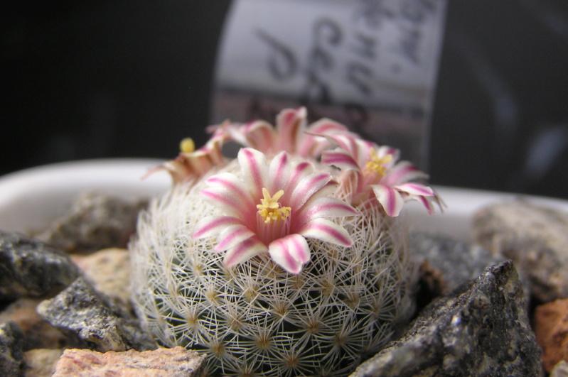 Cactus under carbonate. 18. M_denu10