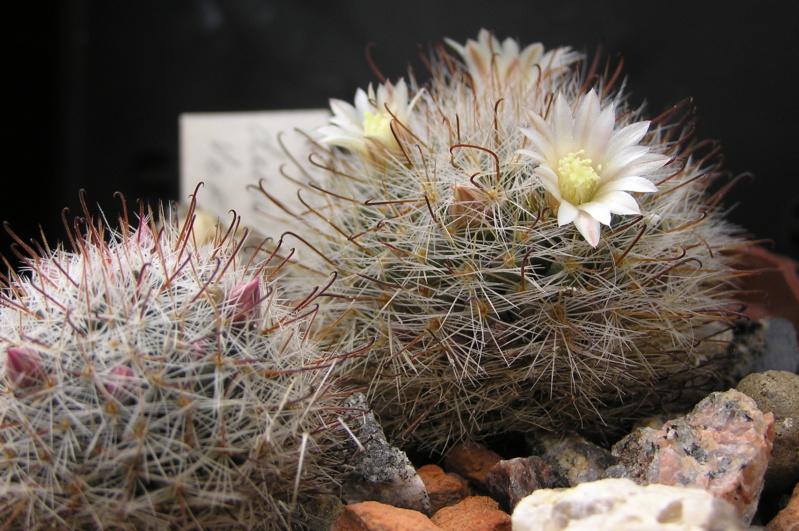 Cactus under carbonate. 18. M_duwe11