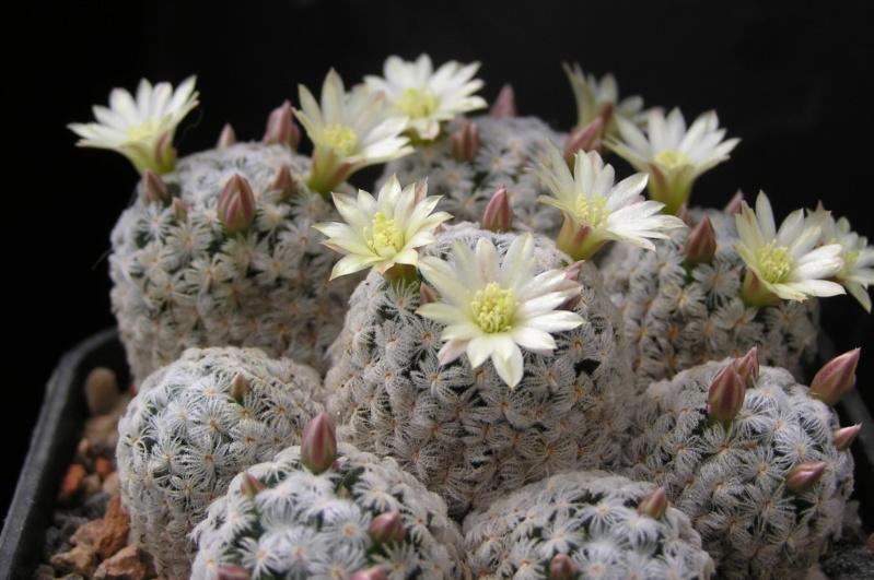 Cactus under carbonate. 19. M_duwe13
