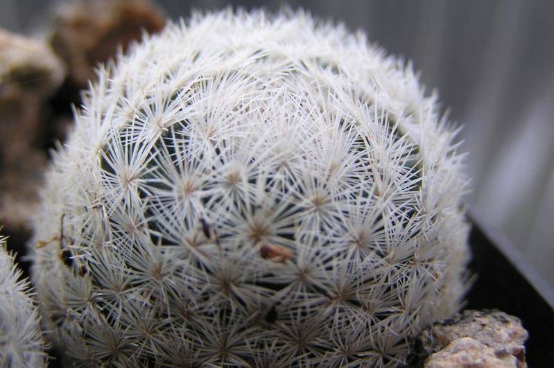 Mammillaria lasiacantha ssp. egregia M_egre12