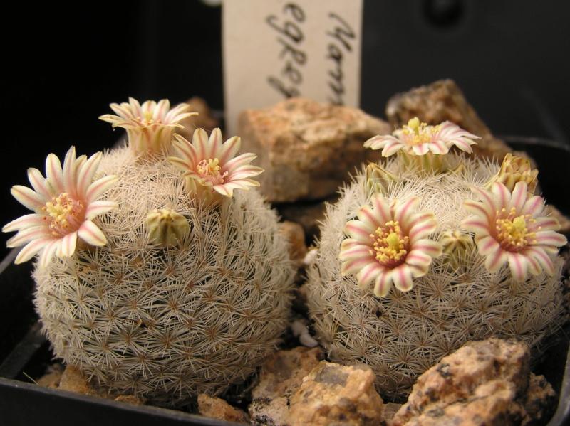 Cactus under carbonate. 18. M_egre13