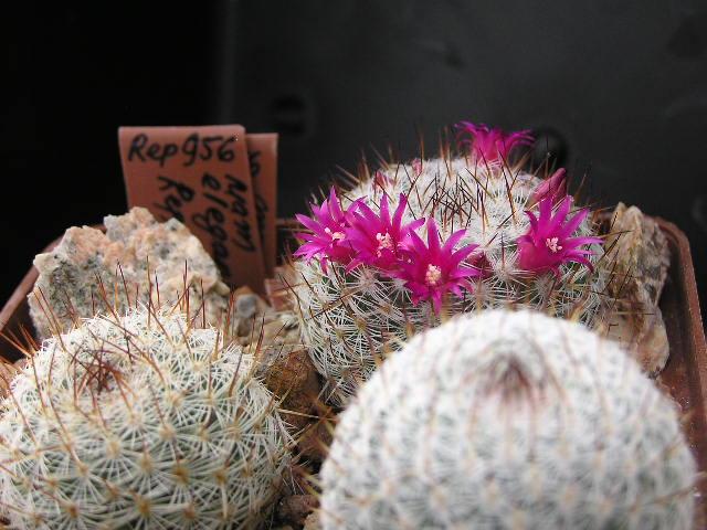 Cactus under carbonate. 18. M_eleg10