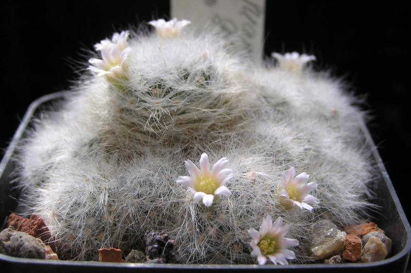 Cactus under carbonate. 20. M_glas11