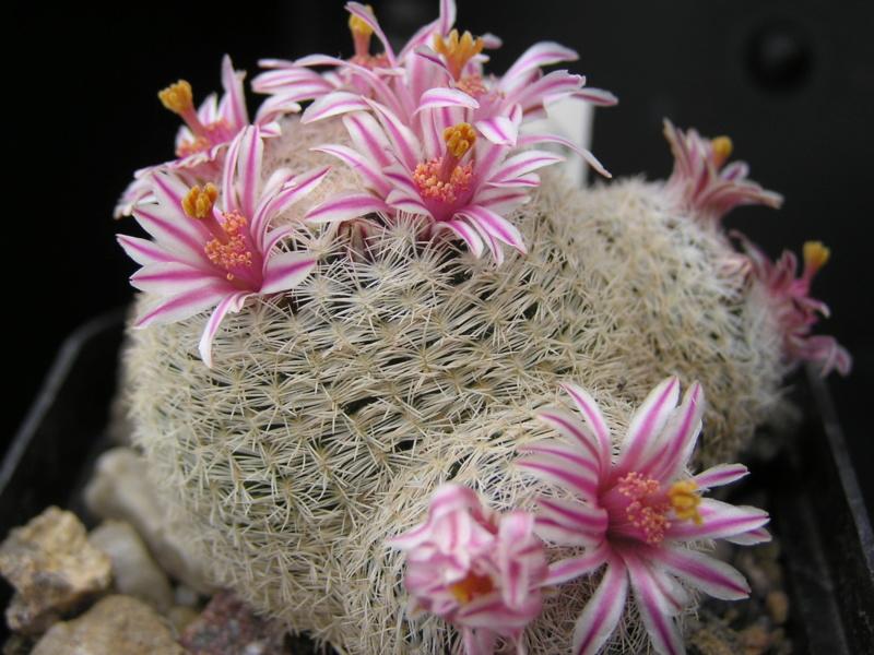 Cactus under carbonate. 18. M_herm10