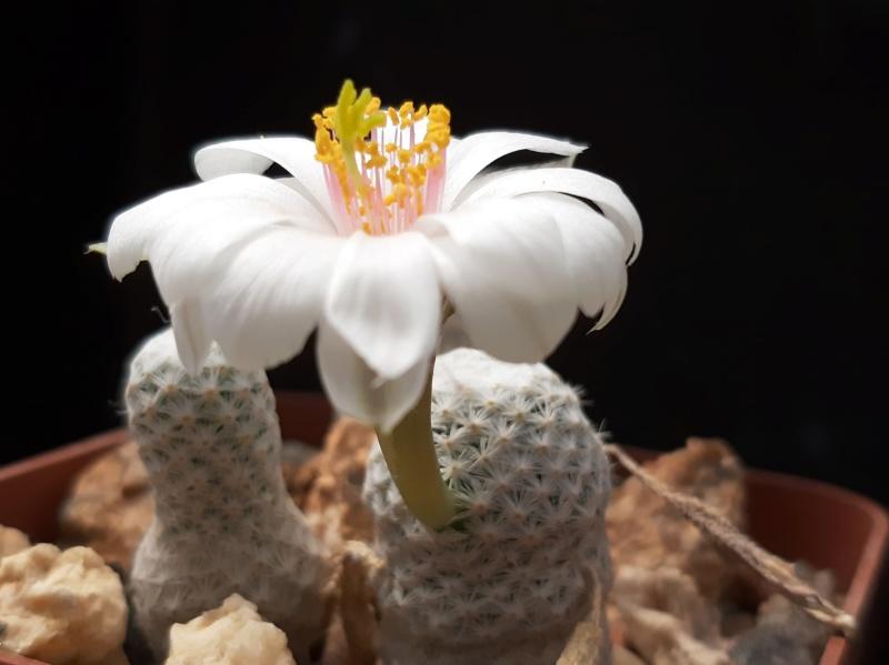 Cactus under carbonate. 19. M_herr11