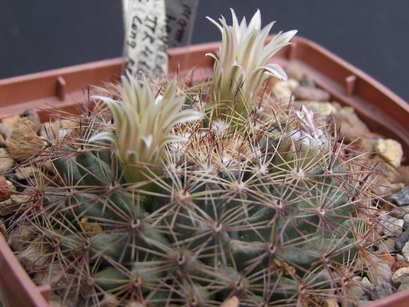 Cactus under carbonate. 17. Started! M_heyd12