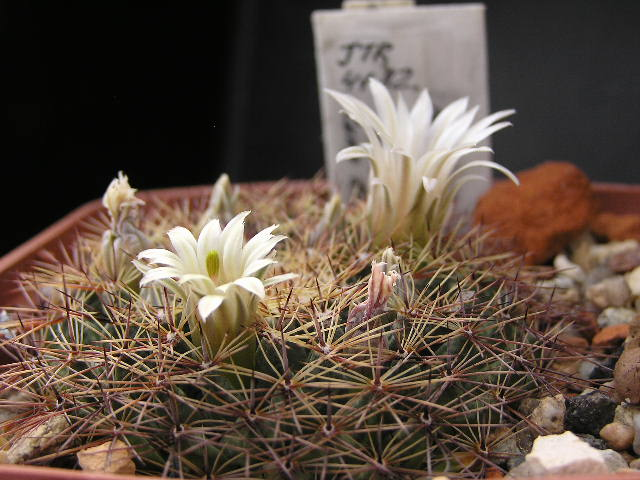 Cactus under carbonate. 18. M_heyd14