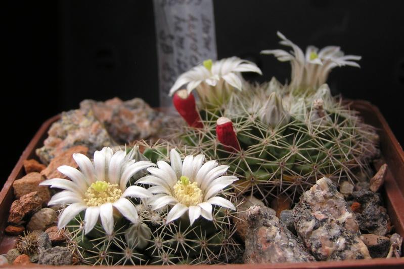 Cactus under carbonate. 18. M_heyd15