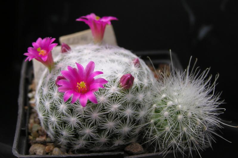 Cactus under carbonate. 18. M_humb10
