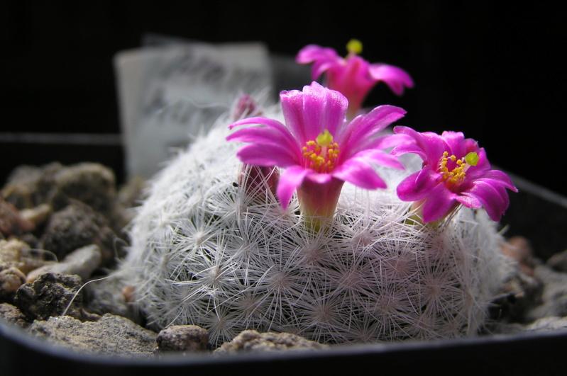 Cactus under carbonate. 20. M_humb11