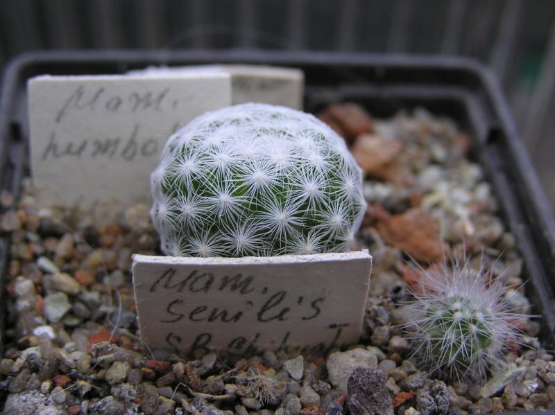 Cactus under carbonate. 20. M_humb12