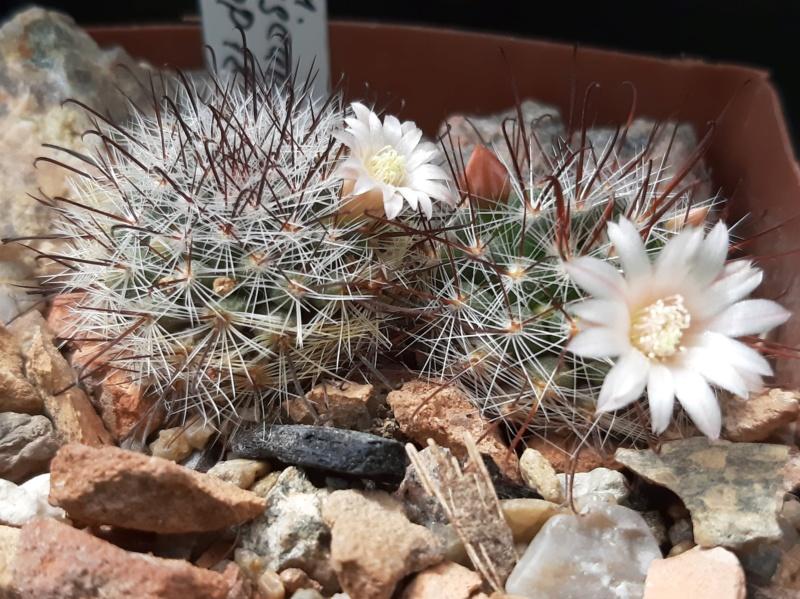 Cactus under carbonate. 19. M_jali15