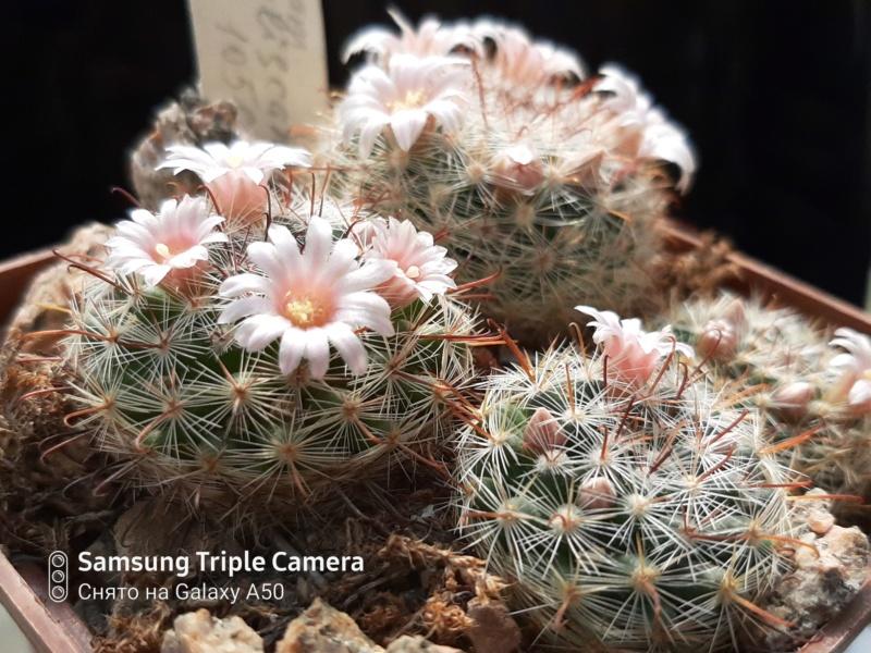 Cactus under carbonate. 20. M_jali18