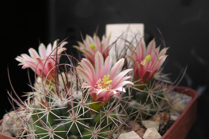 Cactus under carbonate. 19. M_john15