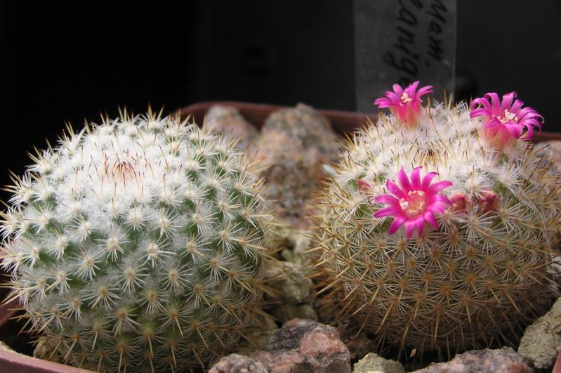 Cactus under carbonate. 18. M_lani10