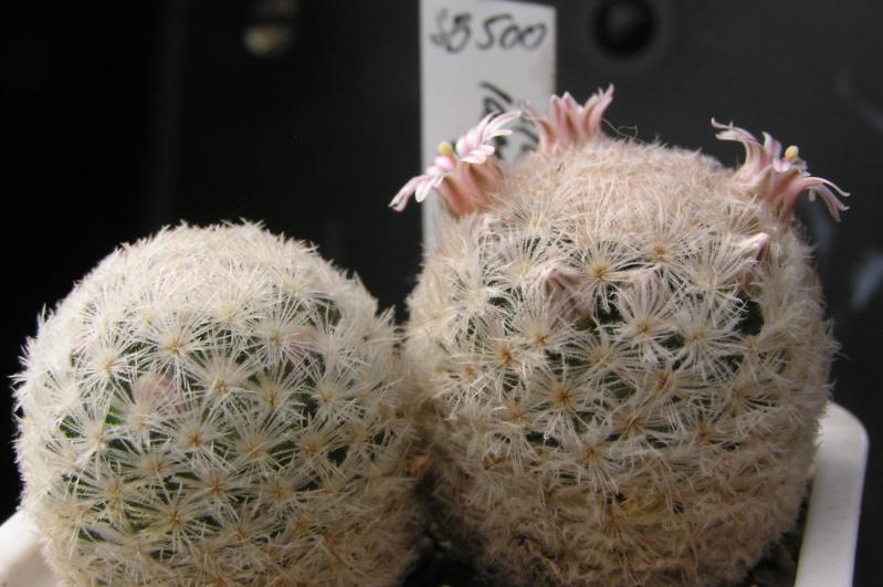 Cactus under carbonate. 18. M_lasi11