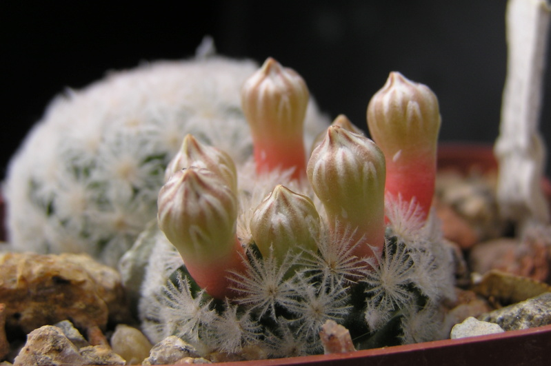 Cactus under carbonate. 18. M_lasi12