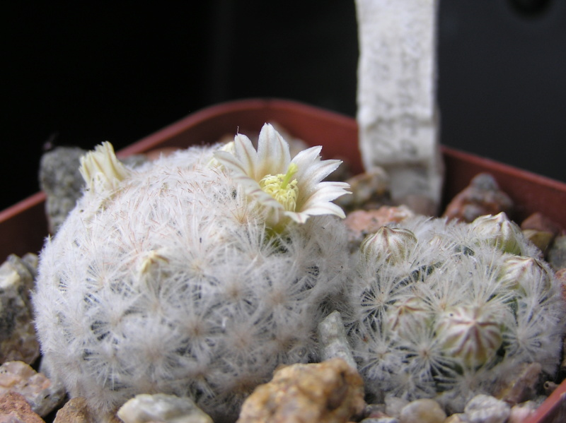 Cactus under carbonate. 18. M_lasi15