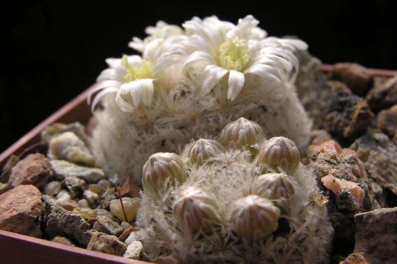 Cactus under carbonate. 20. M_lasi18