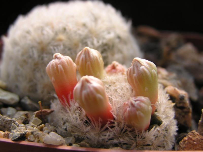 Cactus under carbonate. 20. M_lasi19