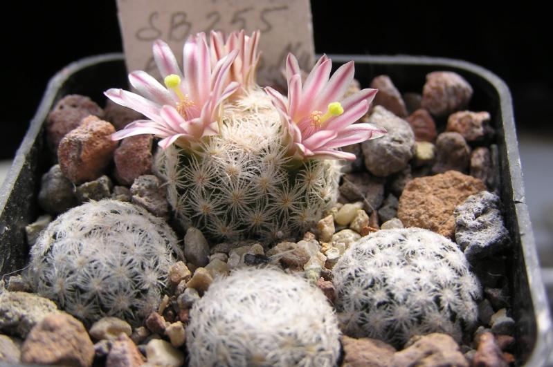 Cactus under carbonate. 20. M_lasi20