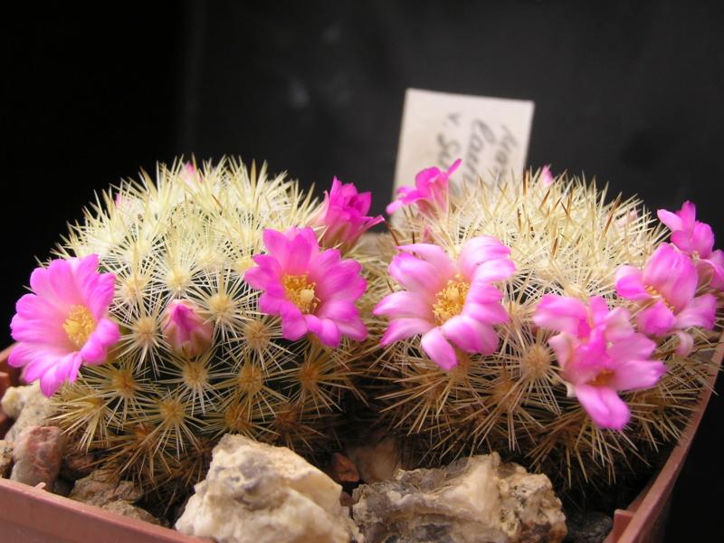 Cactus under carbonate. 18. M_laui10