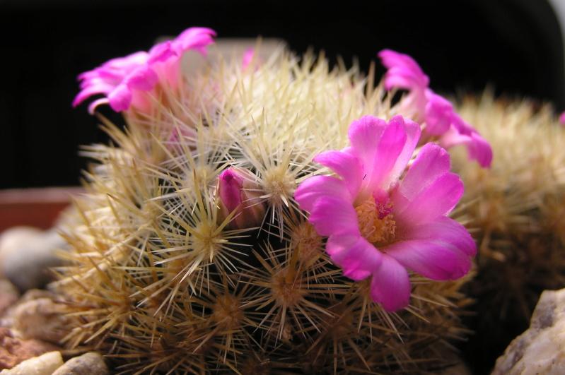 Cactus under carbonate. 20. M_laui11
