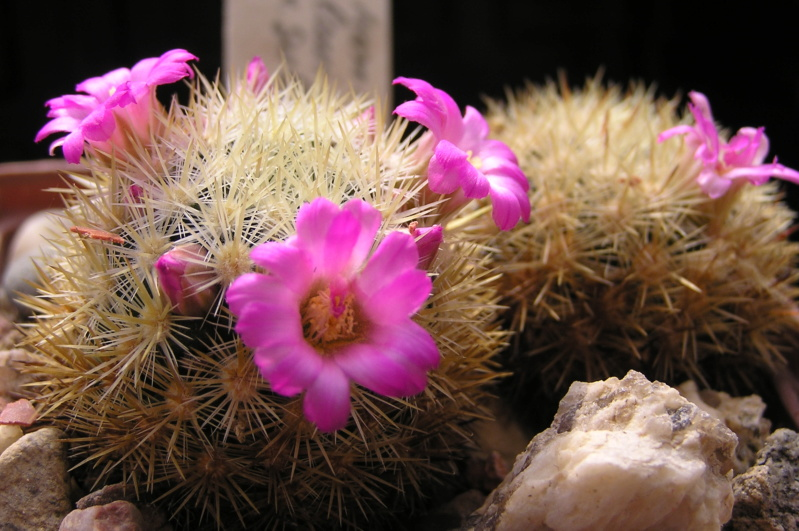 Cactus under carbonate. 20. M_laui12