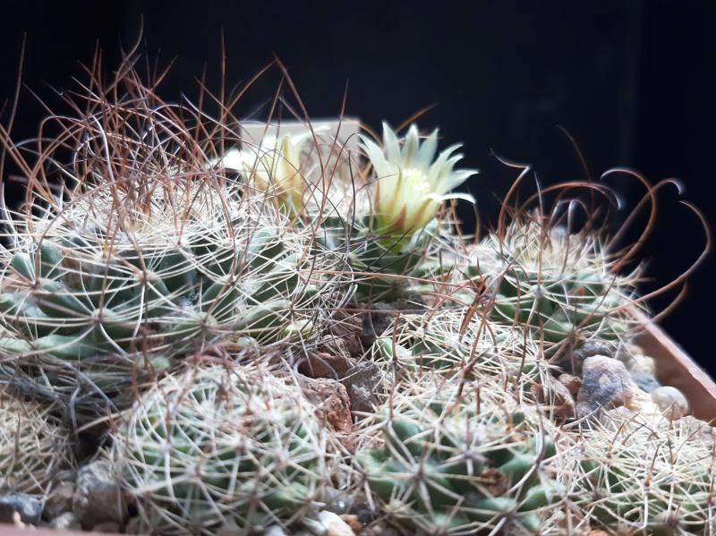 Cactus under carbonate. 19. M_lewi10