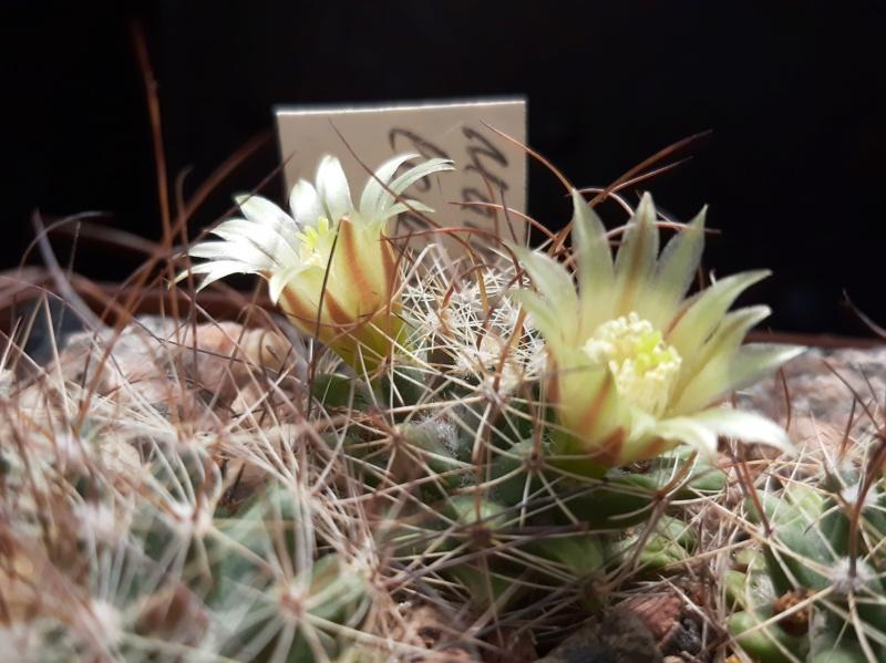 Cactus under carbonate. 19. M_lewi11