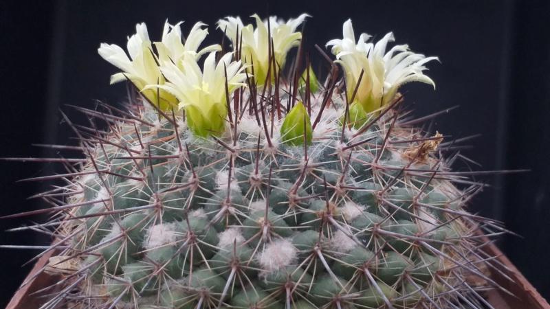 Cactus under carbonate. 18. M_lind10