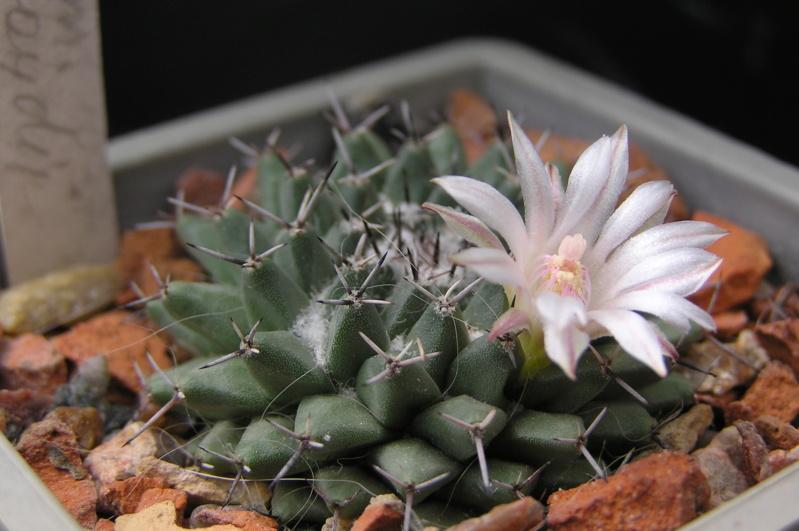 Cactus under carbonate. 18. M_lloy10