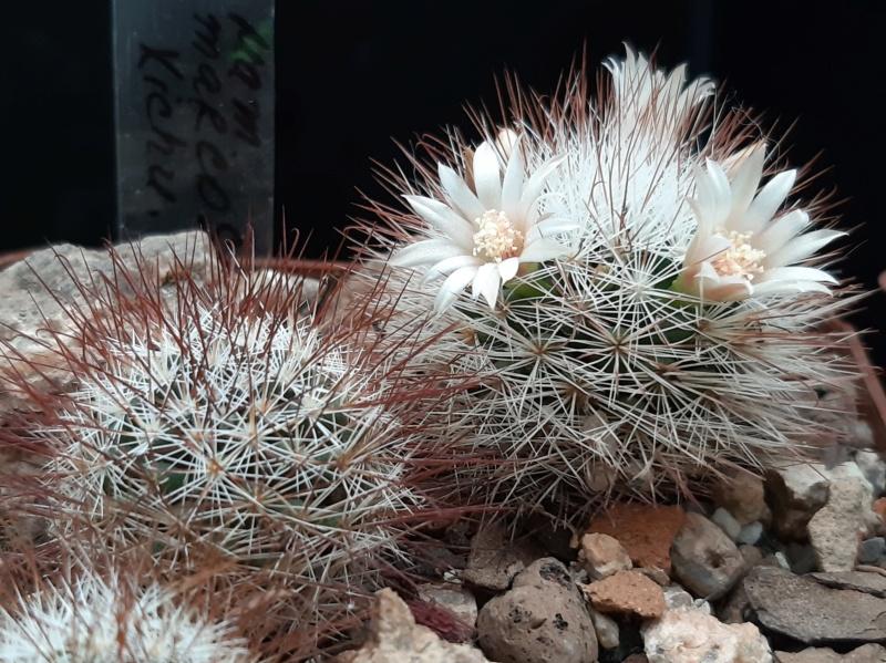 Cactus under carbonate. 19. M_marc10