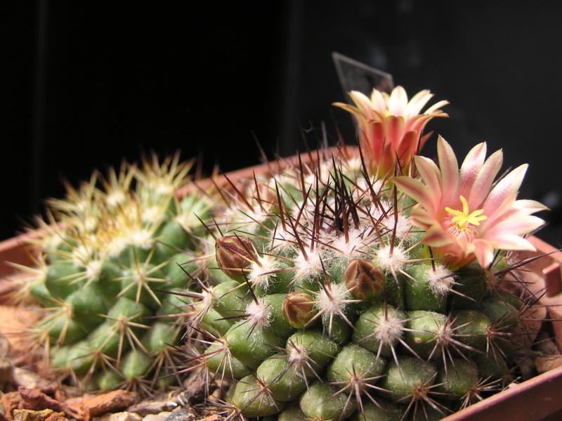 Cactus under carbonate. 19. M_mark10